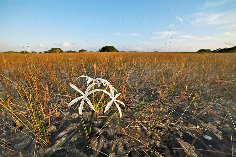 Swamp Lily by Paul Tessier for Stocksy United