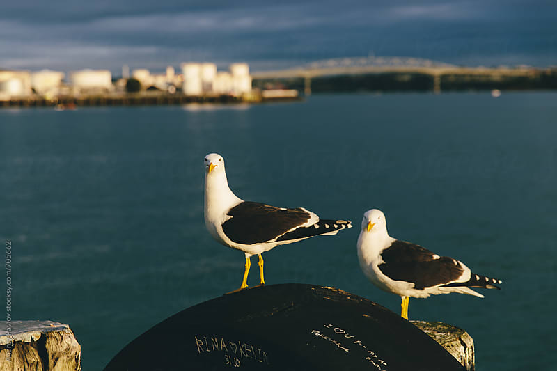 Seagulls sitting at pier, Auckland by Andrey Pavlov for Stocksy United