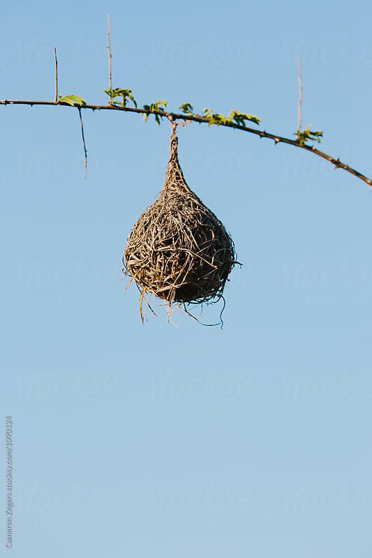 weaver bird nest in Tanzania by Cameron Zegers for Stocksy United