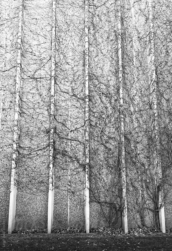 Vines Growing Up A Building With Strong Vertical Lines by Leigh Love for Stocksy United