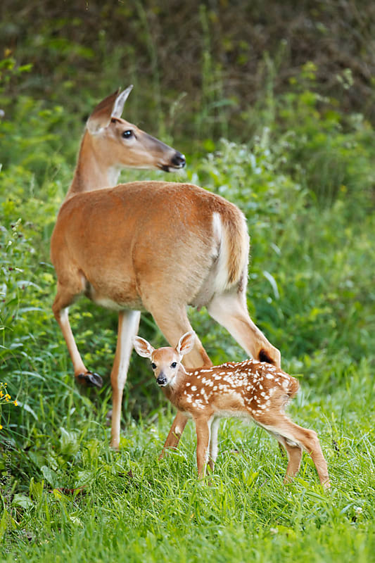 Doe and Fawn by Paul Tessier for Stocksy United