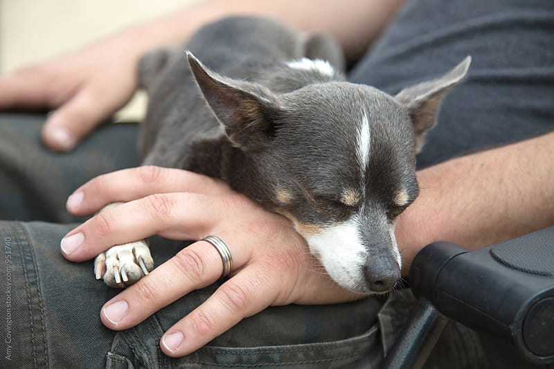 A chihuahua relaxing on it's humans' hand by Amy Covington for Stocksy United
