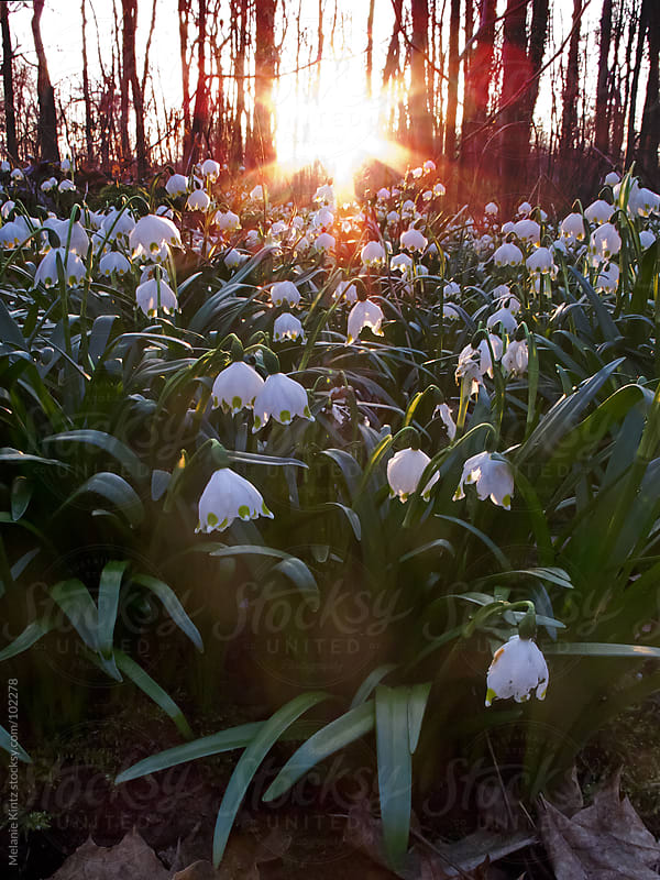 Field of spring snowflakes at sunset by Melanie Kintz for Stocksy United