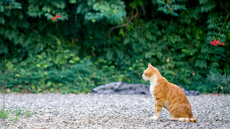Red and white cat sits in garden in front of campsis shrubs in summer day by Laura Stolfi for Stocksy United