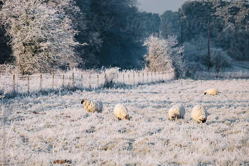 Sheep grazing a frost covered field. Norfolk, UK. by Liam Grant for Stocksy United