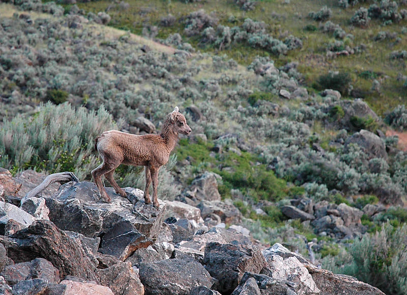 Young juvenile bighorn sheep standing on rocks by Matthew Spaulding for Stocksy United