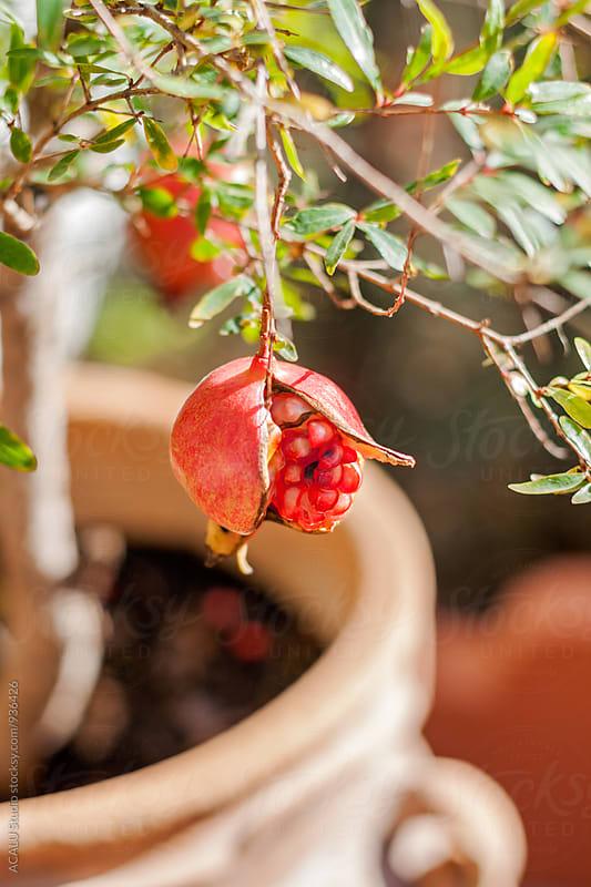 Fruit of Punica granatum by ACALU Studio for Stocksy United
