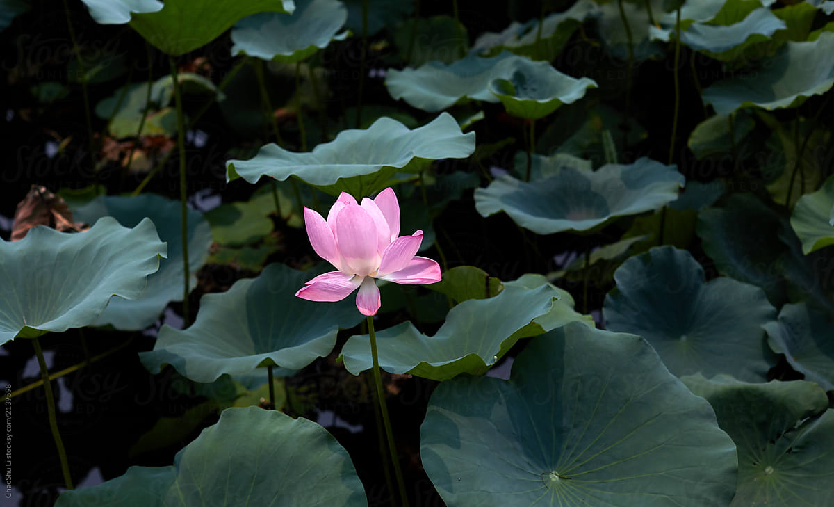 A Lonely Lotus Flower In The Lotus Pond Stocksy United