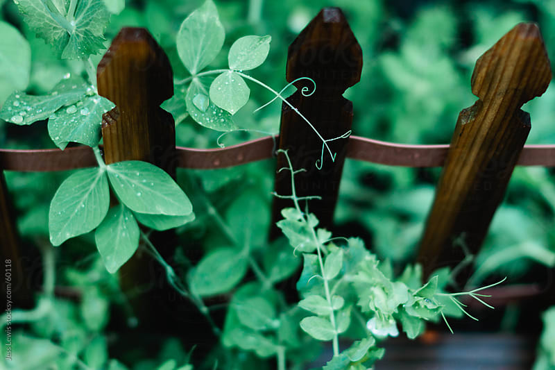 snap pea plant in a garden by Jess Lewis for Stocksy United