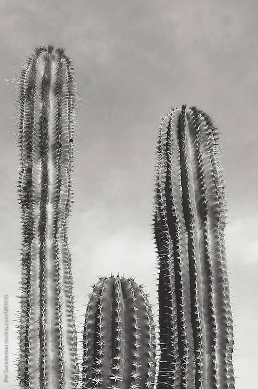 3 cacti in the desert by Per Swantesson for Stocksy United