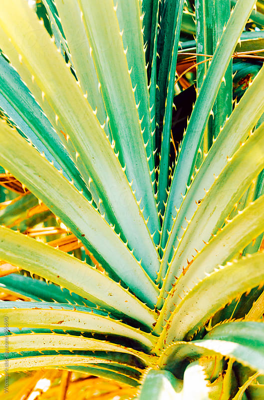 Aloe plant background by Srdjan Kirtic for Stocksy United