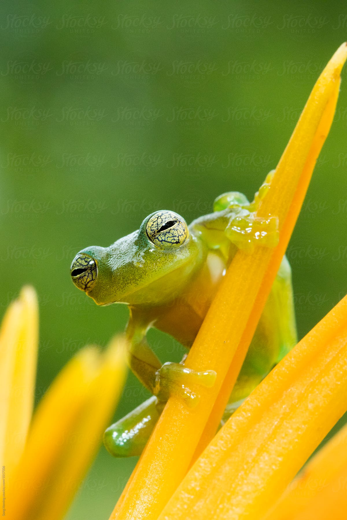 Portrait of tree frog standing on the yellow flower stocksy united portrait of tree frog standing on the yellow flower by song heming for stocksy united mightylinksfo