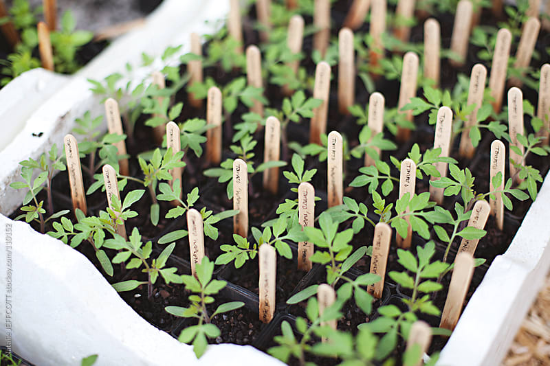 young tomato seedlings ready to plant in the garden by Natalie JEFFCOTT for Stocksy United