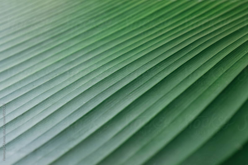Beautiful Green Leaf Texture by Nemanja Glumac for Stocksy United