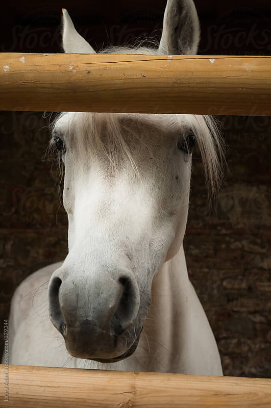 arabian horse portrait by Laura Adani for Stocksy United