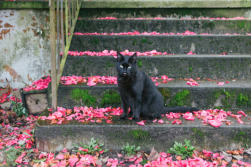 Playful black cat playing on flower petal covered concrete staircase by Mihael Blikshteyn for Stocksy United