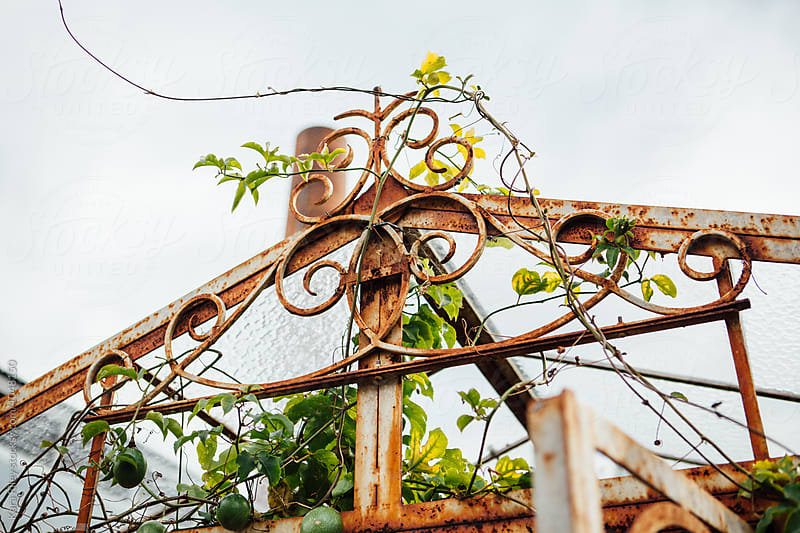 Rusty Greenhouse Frame with Green Vines by Kara Riley for Stocksy United