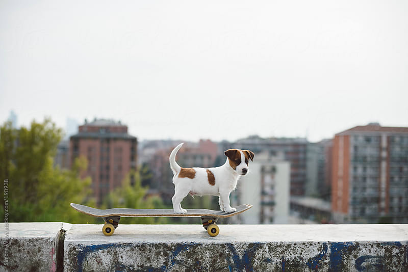 Jack Russell puppy on the skateboard against the city by GIC for Stocksy United