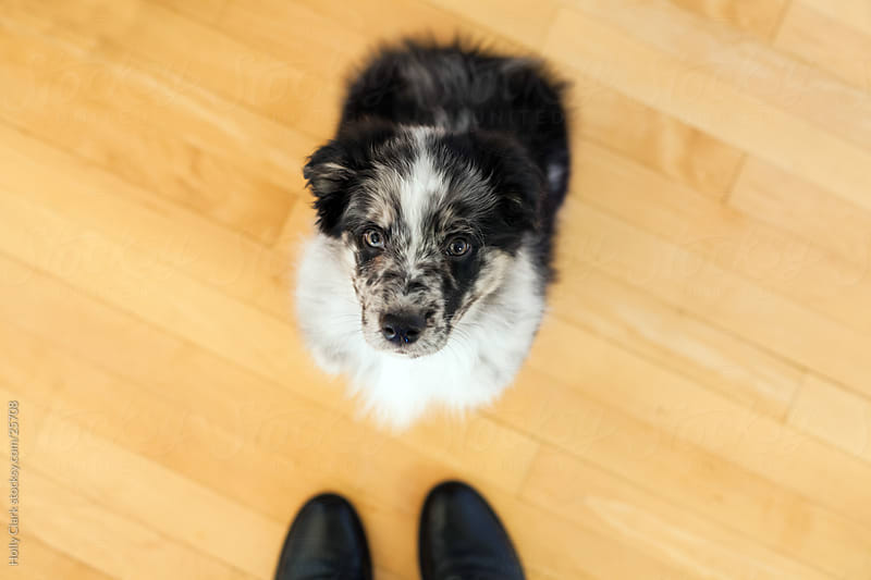 Puppy Sitting on Wooden Floor Looks Up by Holly Clark for Stocksy United