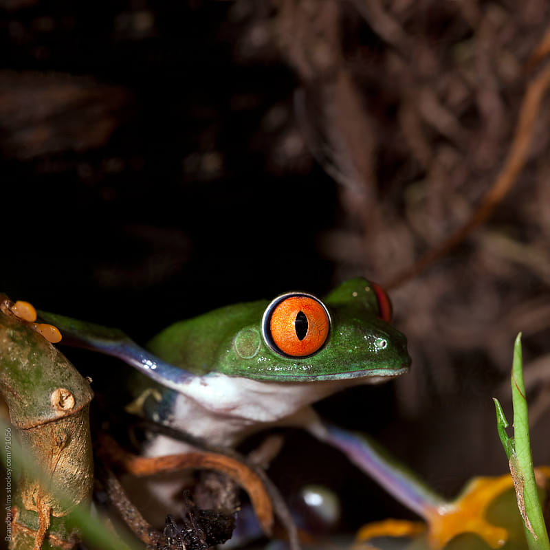 Red Eyed Tree Frog in the Rainforest by Brandon Alms for Stocksy United