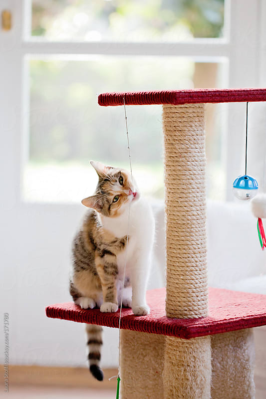 Tabby cat chewing string on scratching post by Laura Stolfi for Stocksy United