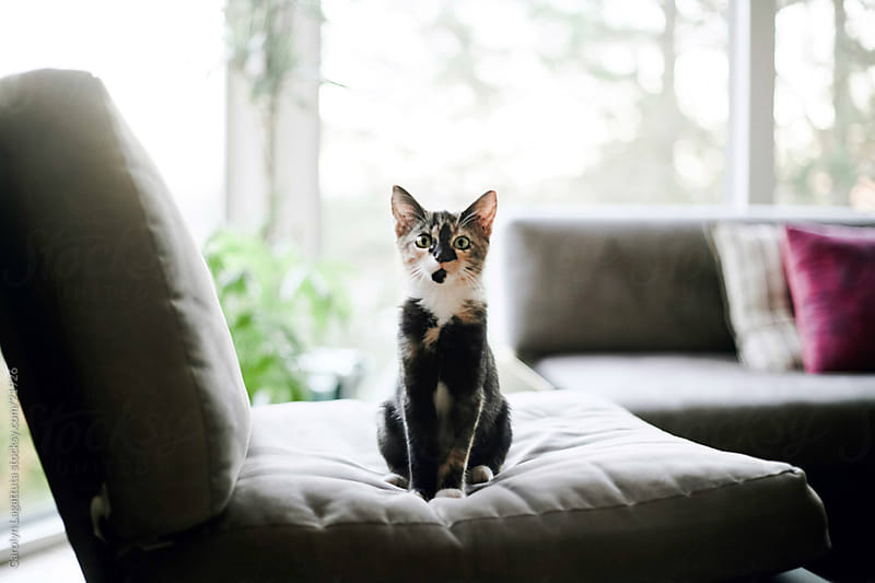 Tortoise shell/Calico kitten sitting upright on a chair looking at the camera by Carolyn Lagattuta for Stocksy United