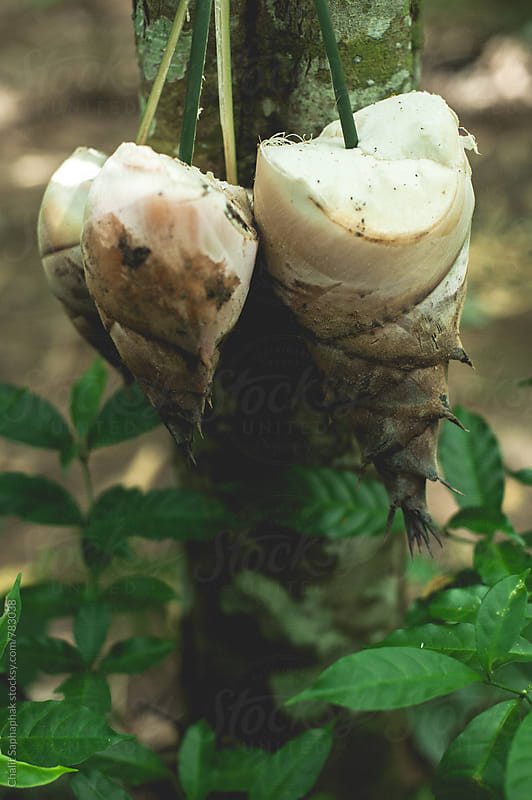 Bamboo shoot by Chalit Saphaphak for Stocksy United
