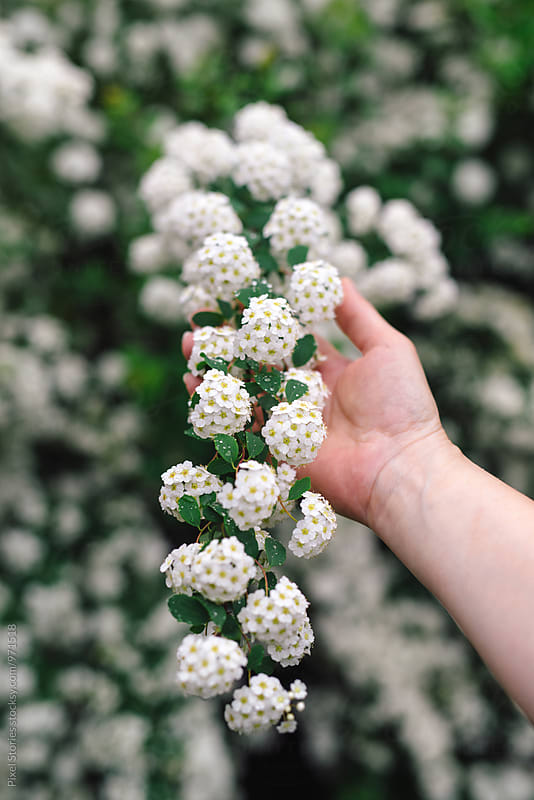 Female hand holding fragrant Spiraea branch by Pixel Stories for Stocksy United