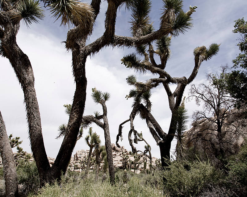 Joshua Tree Park by Nicolai Perjesi Photography for Stocksy United