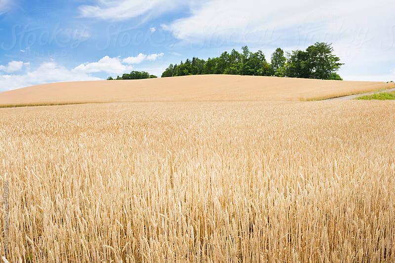 Golden wheat in farm by Lawren Lu for Stocksy United
