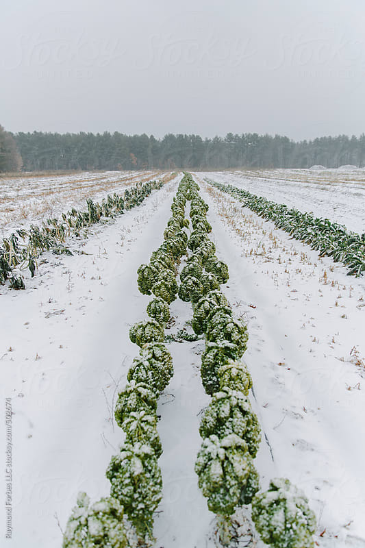 Kale in Winter at Organic Farm by Raymond Forbes LLC for Stocksy United