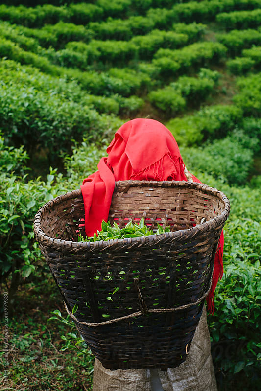 Tea harvest by Artem Zhushman for Stocksy United