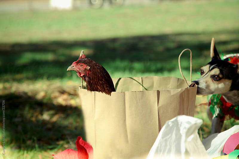 Nervous looking chicken in a bag with a dog smelling the bag by Carolyn Lagattuta for Stocksy United