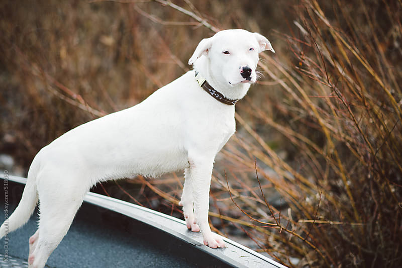 White dog stands on edge of boat on a river by Kate Daigneault for Stocksy United