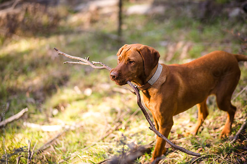 Puppy with stick in nature by Reece McMillan for Stocksy United