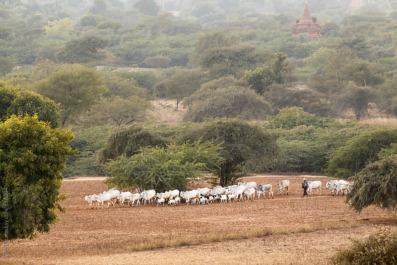 Cows and goats grazing in Bagan, Myanmar by Jino Lee for Stocksy United