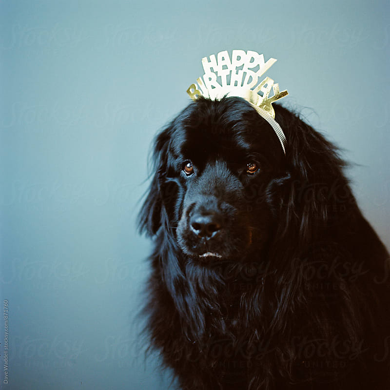 Newfoundland Birthday Dog by Dave Waddell for Stocksy United
