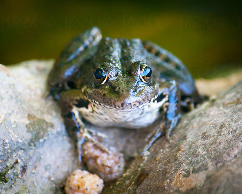 Frog looking at the camera by ACALU Studio for Stocksy United