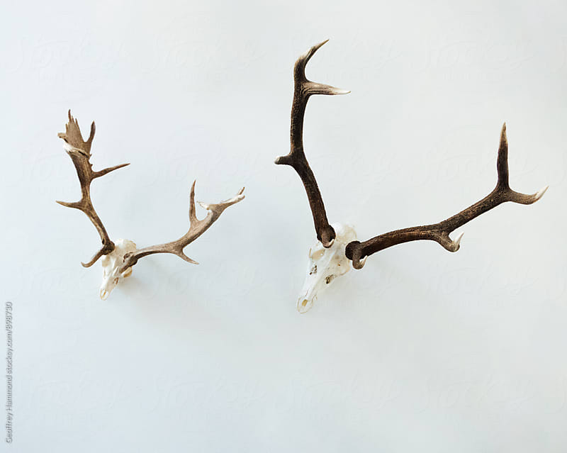Deer Skulls with Antlers by Geoffrey Hammond for Stocksy United