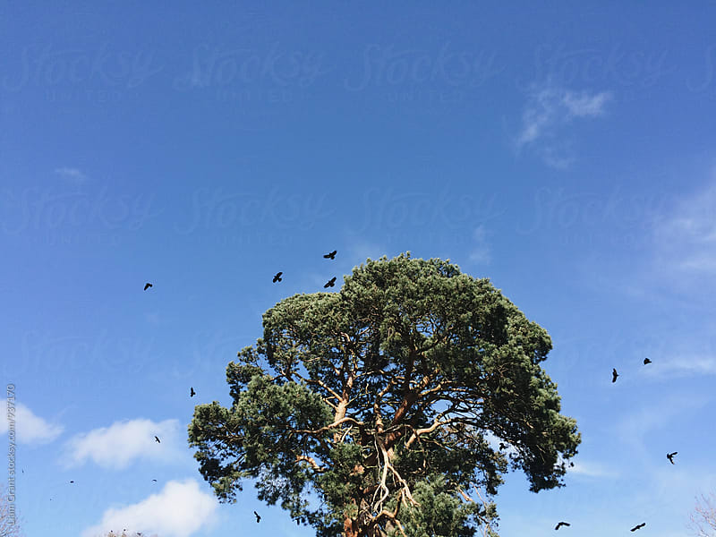 Crows circling above the tree where their nests are built. Norfolk, UK. by Liam Grant for Stocksy United