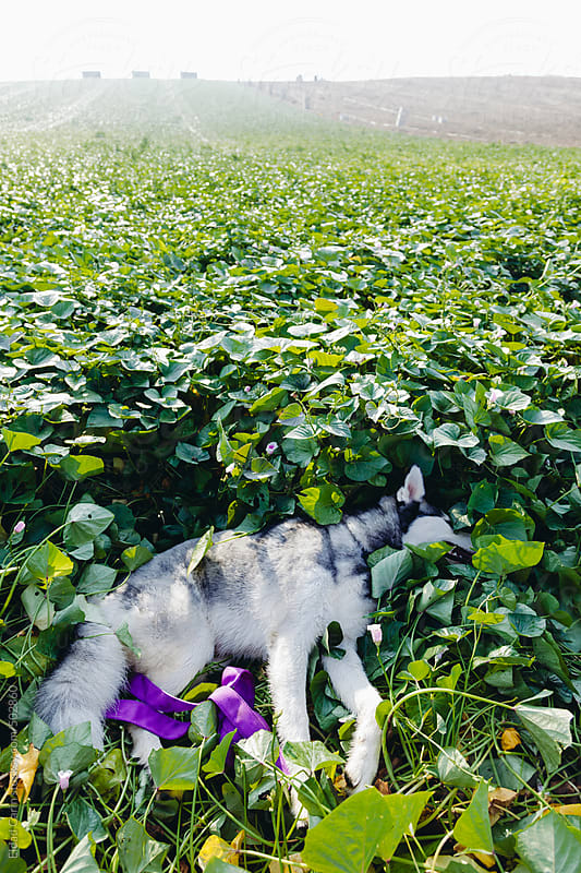 Husky Resting in Field by Eldad Carin for Stocksy United