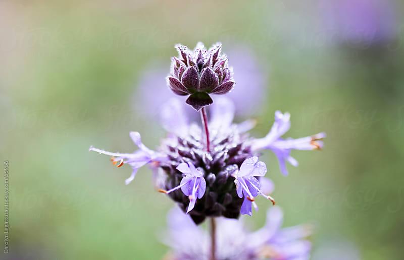 Sweet lavender by Carolyn Lagattuta for Stocksy United