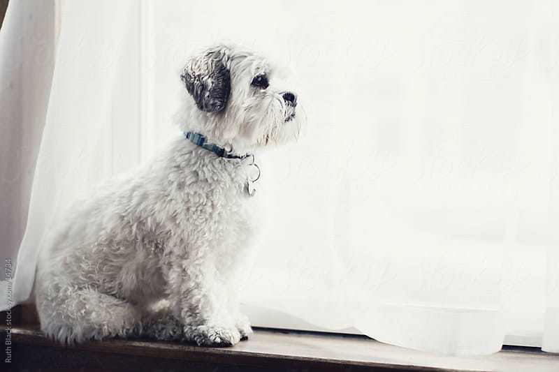 Lhasa apso waiting at the window by Ruth Black for Stocksy United