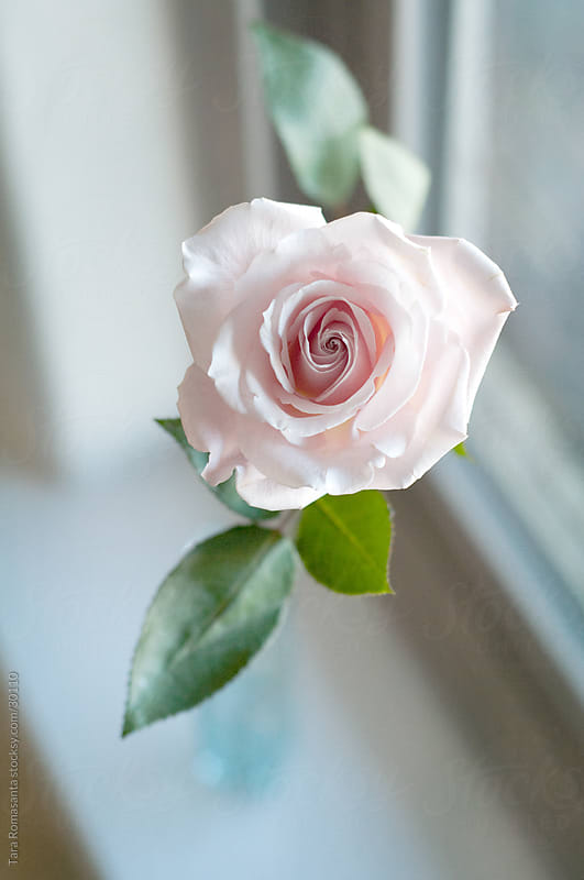 a single pale pink rose in the window by Tara Romasanta for Stocksy United