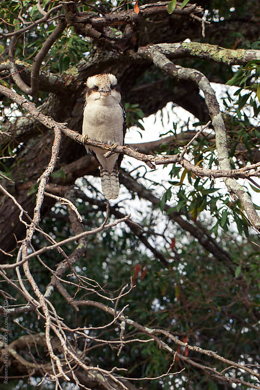 Iconic Australian Kookaburra Bird in Natural Habitat by Rowena Naylor for Stocksy United