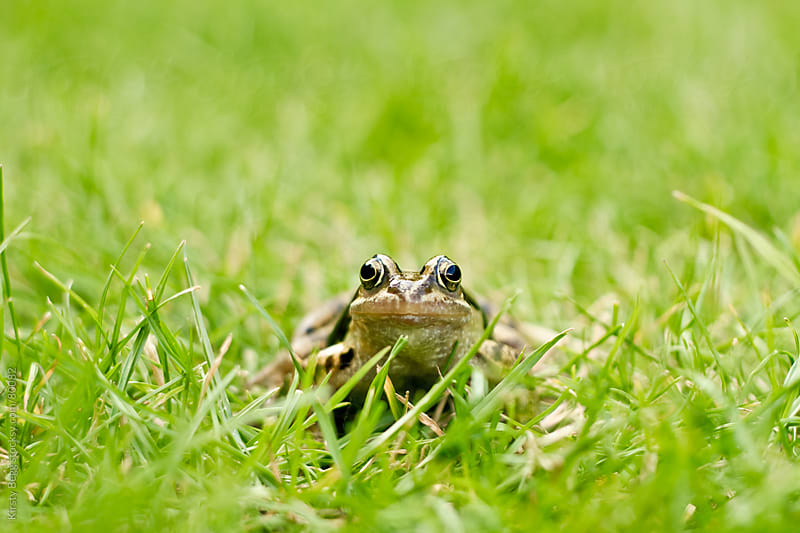 Frog looking at camera in grass by Kirsty Begg for Stocksy United