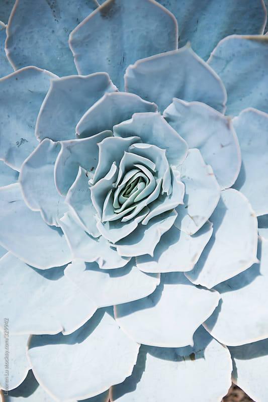 Beautiful succulent plant houseleek petals.  by Lawren Lu for Stocksy United