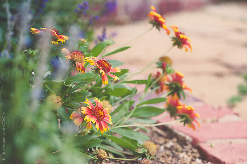 Gaillardia (Indian Blanket Flower) In Perennial Border by Leigh Love for Stocksy United
