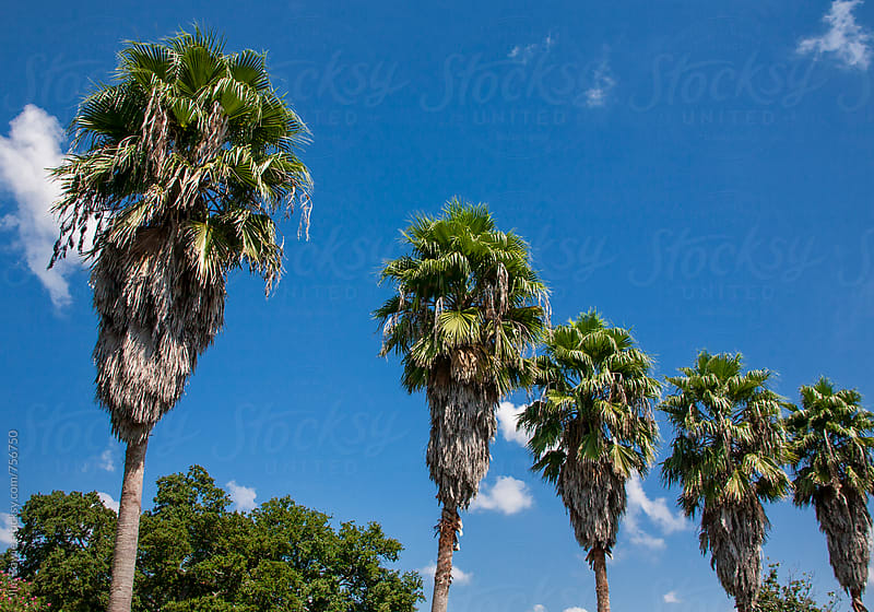 5 Palm Trees by JIm Bowie for Stocksy United