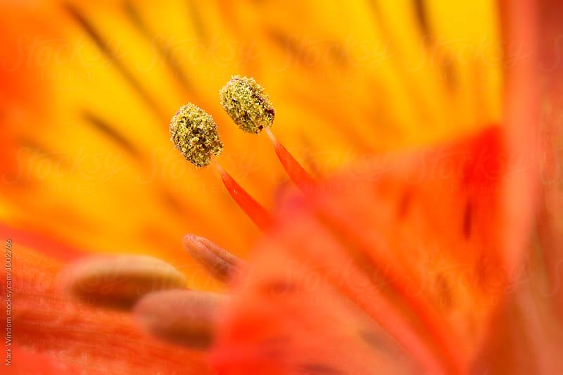 Alstroemeria, closeup by Mark Windom for Stocksy United
